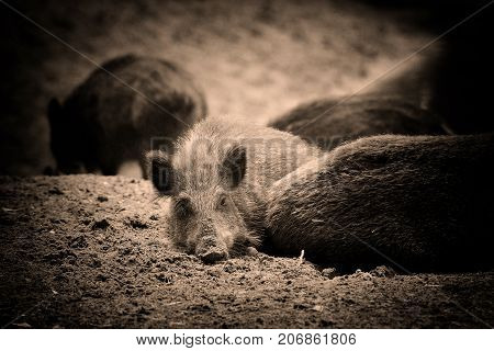 Wild Boar Piglet - Young Wild Boar Lies In The Forest