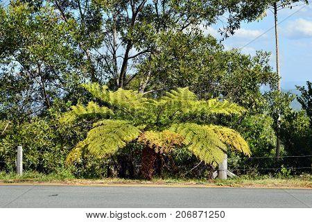 Australian Big Green Tree Ferns