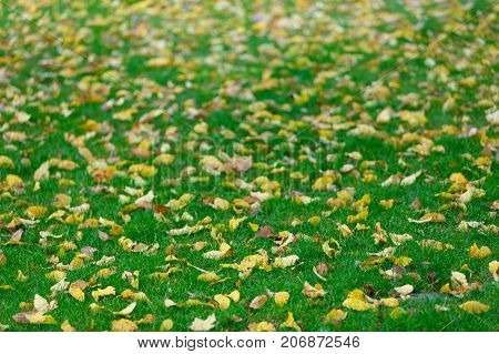 Aspen Tree Leaves On Green Grass In Autumn Season