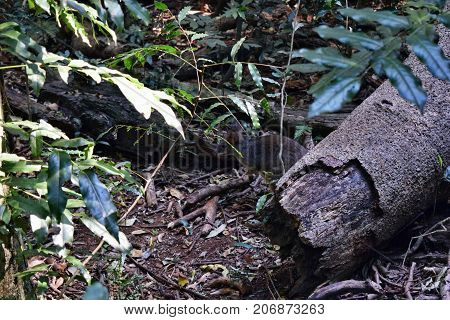 Small Wild Kangaroo Pademelon In The Park