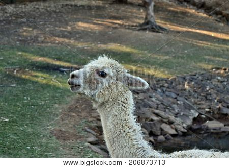 A Beautiful And Funny White Lama Smile