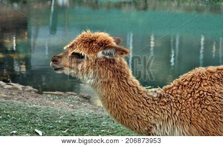 A Beautiful And Funny Brown Lama Smile