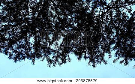 Texture Of Fir Branches