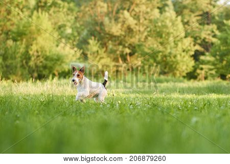 Wire fox terrier running in the park on a warm summer day copyspace animals pets dogs happiness vitality lifestyle friend concept.