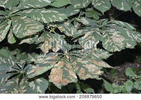 Horse-chestnut Leaf Miner