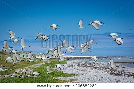A flock of Sacred Ibis take off near Cape Agulhas, South Africa