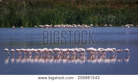 A flock of lesser flamingoes feeds at Strandfontein, South Africa