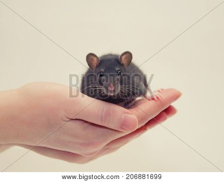 Cute tiny laboratory rat baby in human hands (on a gray background) selective focus on the rat eyes retro style