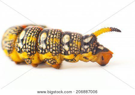 Hyles Euphorbiae. Caterpillar Against White Background. Spurge Hawk. Sphingidae