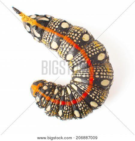 Hyles Euphorbiae. Larva Of Hyles Euphorbiae. Caterpillar Isolated On White Background