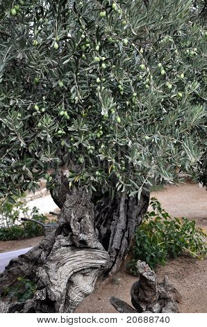 Olive tree with leaves and olives