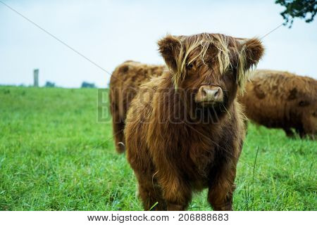 Brown highland cow calf eating grass and standing on grass field on a cloudy day.