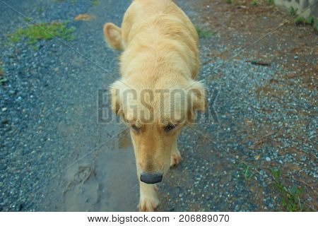 Young golden dog go for a walk in nature.