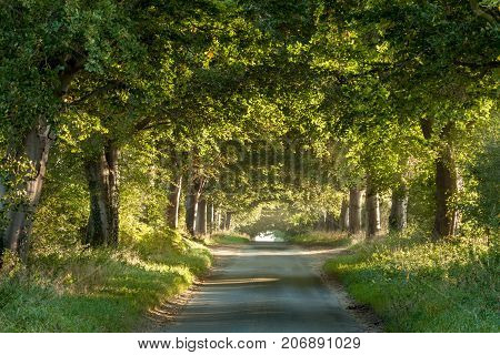 Tree arches across a rural country lane showing nature and roads living in harmony. Sunrise light glowing under the canopy and branches. Tree trucks reflecting the warmth of the morning sun. It may look like there wasnt much traffic but come 7am you need