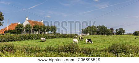 Panorama of cows and an old house in Groningen Netherlands