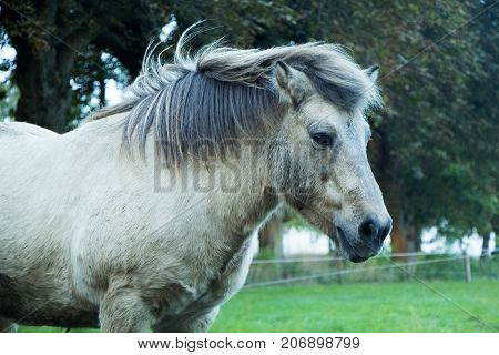 Grey horse standing outside on grass on a cloudy day in autumn.
