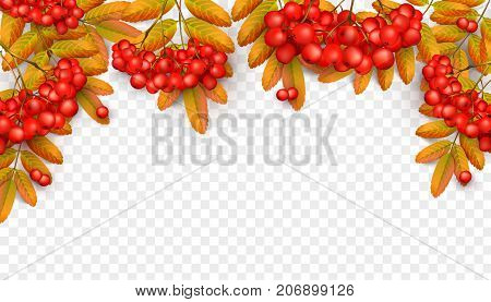 Beautiful greeting card with realistic 3d mesh rowan branch isolated on a transparent background. Rowan branch with orange leaves and red ashberry. Vector illustration
