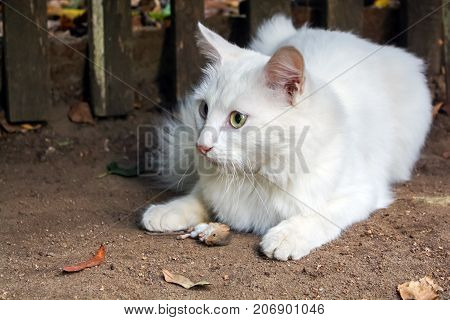 white cat caught mouse. hunting for mice