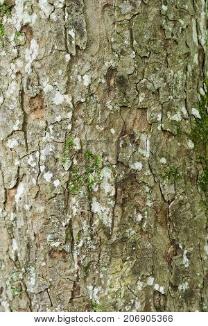 Close-up of a Tree Bark in the Forest. View on a Tree Bark in Autumn. Alder Tree. Natural Nature and Backgrounds