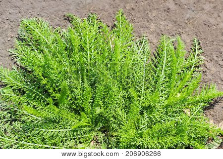 Top view of the yarrow bush with young leaves on a background of soil