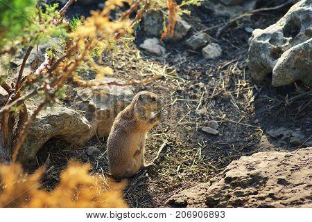 prairie dog rodent. Animal wildlife nature photo