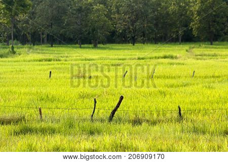 Barbed wire in the rice field with trees background (focus on barbed wire fence)
