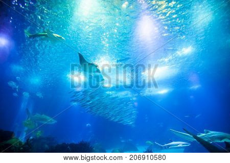 Undersea marine life. Underwater blue background with sunbeams. Manta Ray, shark and schools of fish cruises over the deep seafloor.