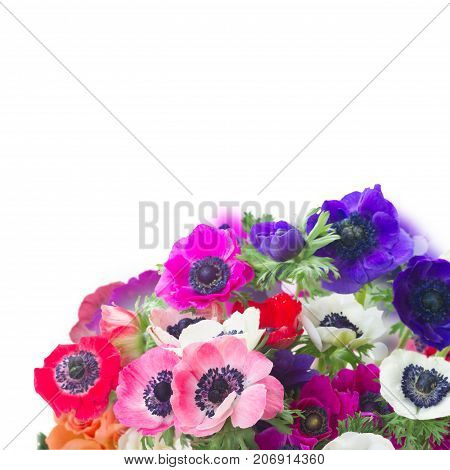 Fresh colorful Anemones fresh flowers posy close up over white background