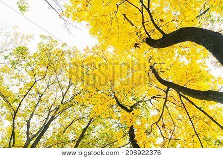 Vibrant yellow golden fall tree foliage background