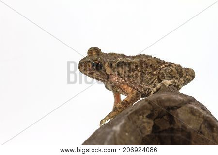 Young Asian common toad sit on log isolated on white background