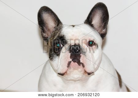 Portrait of funny young french bulldog female