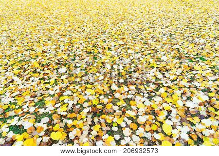 Alder tree fall yellow leaves change on grass background