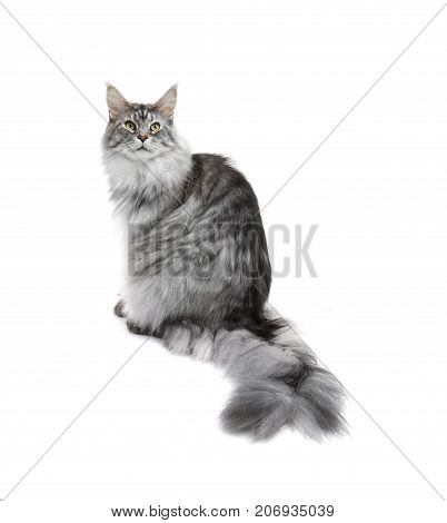 young grey cat isolated on white background