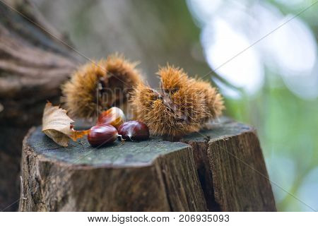 Chestnut Hedgehog With Chestnuts In Autumn Forest