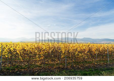 Landscape with fall vineyards of Route des Vin, France, Alsace