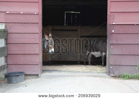 donkey in a barn, humorous image of head and backside split between the door opening - half assed concept