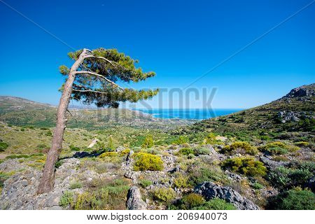 Lonely wind beaten tree on a cretan mountain with view to the sea. Typical cretan rural mountain landscape.