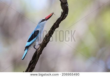 Woodland kingfisher perching with bright blue feathers on a branch in shade waiting for prey