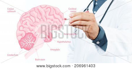 Medicine Concept. Doctor And Anatomy Of Human Brain