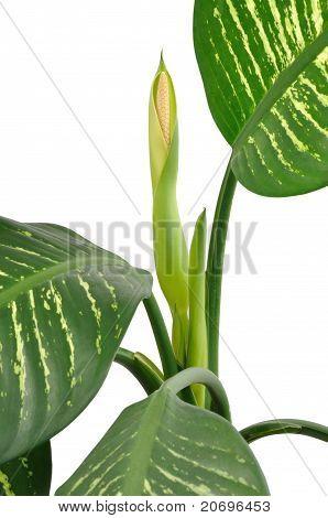 Dieffenbachia Flower
