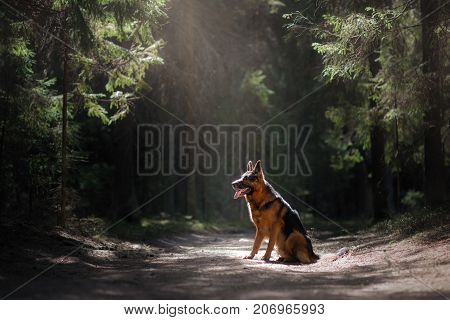 Dog German shepherd sitting on the path in the woods