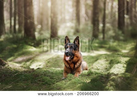 Dog German shepherd lies on the moss under the trees