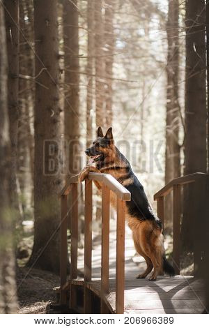 Dog German shepherd standing on a wooden bridge in the forest