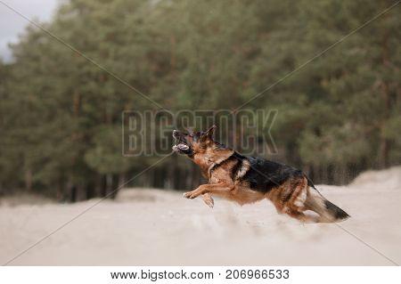 Dog German shepherd runs through the sand on the coast