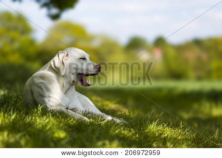yawning tired labrador retriever dog puppy on a meadow in the summer