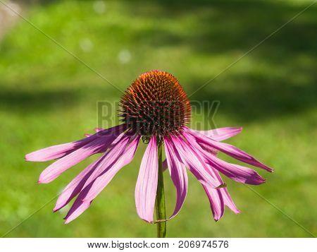 Purple coneflower Echinacea purpurea flower close-up selective focus shallow DOF.