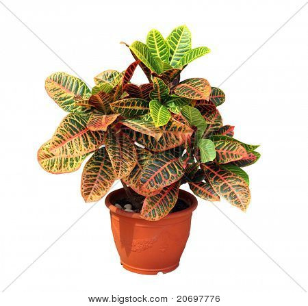 Croton isolated on white background