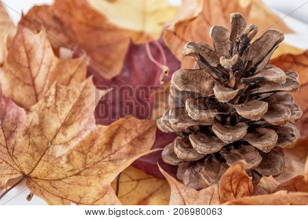 autumn landscape with bright colorful leaves. Indian summer. pinecone