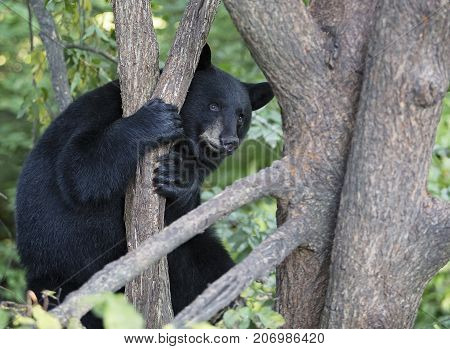 American black bear, sitting alert, high up in a tree.  Summer in Northern Minnesota.