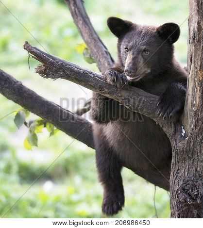 American black bear cub (brown phase), sits safely, high in a tree, on a limb.  Summer in Northern Minnesota